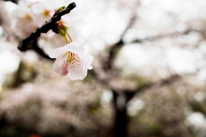 神戸フォトウォーク20190330_マクロ桜