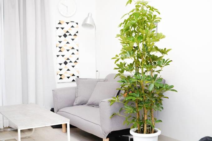 HitoHana(ひとはな)_観葉植物(カポックシェフレラ)